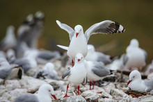 Red-billed Gulls Mating