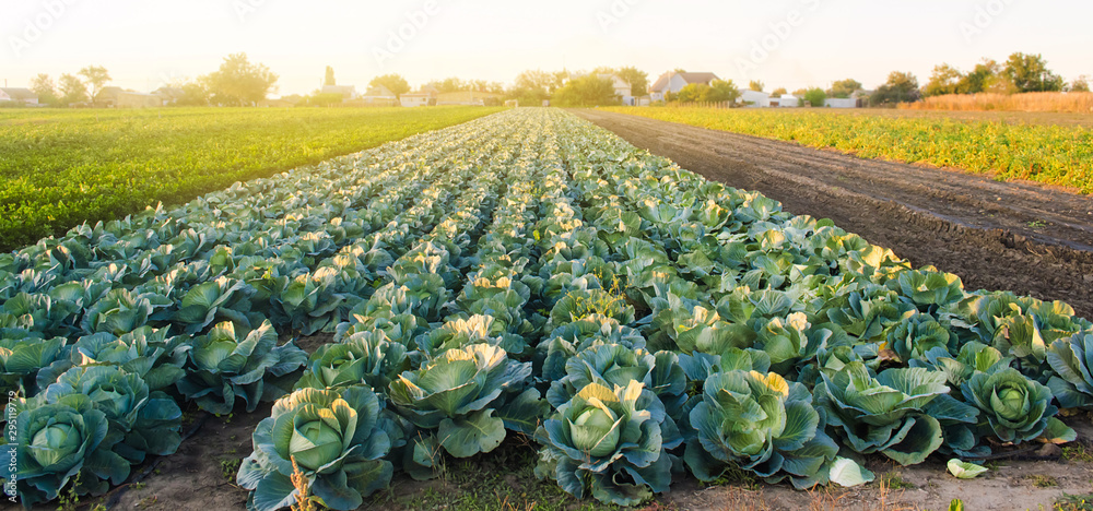 Fototapety, obrazy: Cabbage plantations in the sunset light. Growing organic vegetables. Eco-friendly products. Agriculture and farming. Plantation cultivation. Selective focus