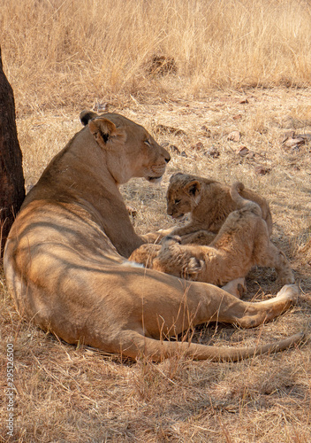 Photographie Lioness mother with nursing cubs in in South Africa