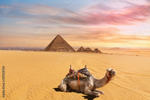 Wall Murals Beige Cute camel in front of the Menkaure Pyramid complex, Giza, Cairo, Egypt