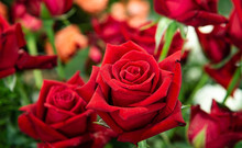 Closeup Lovely Fresh Red Roses...