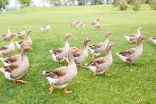 Ducks Are Walking In The Garden