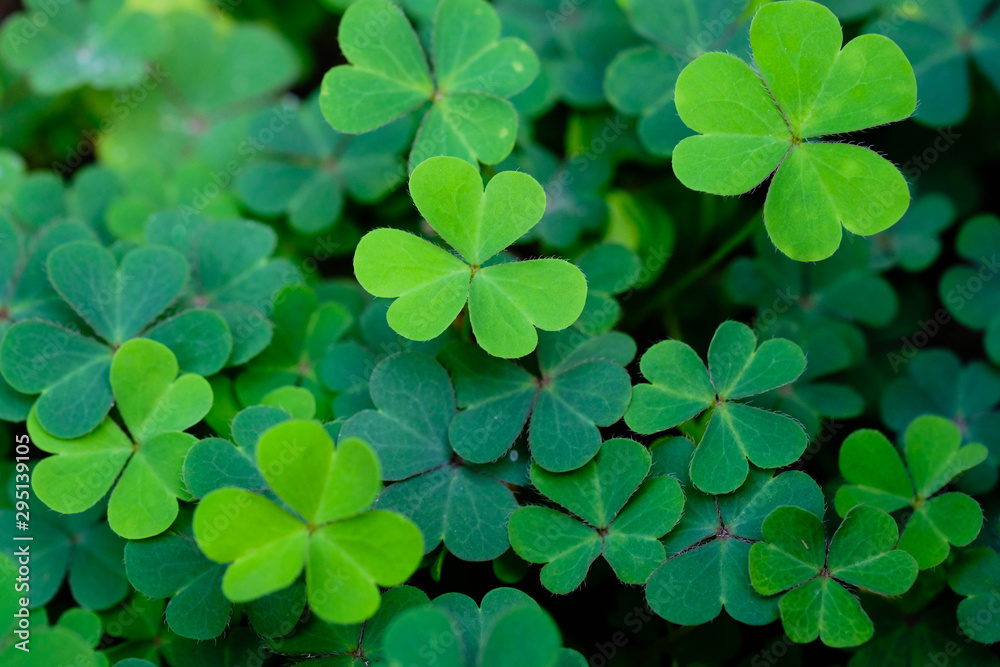Fototapeta Clover Leaves for Green background with three-leaved shamrocks. st patrick's day background, holiday symbol.