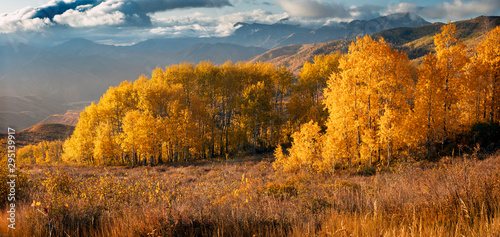 Papiers peints Rivière de la forêt Golden fall aspens in the Wasatch Mountains, Utah, USA.