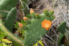Orange Flowering Prickly Pear