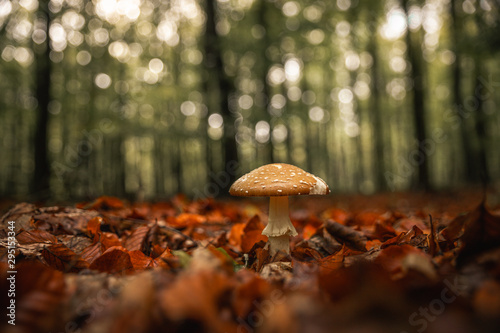 Beautiful royal fly agaric mushroom in the forest in front of blurry background Fototapet