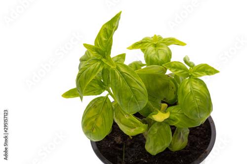 Photo Plant de basilic
