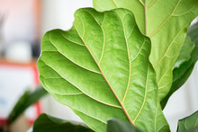 Fiddle Fig Leaf