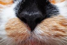 Black Nose Of Tricolor Cat, Closeup Portrait