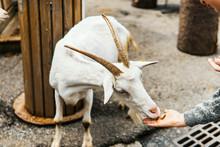 Mammal Wildlife Mountain Goat ...