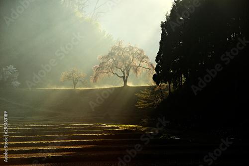 Poster Olive 朝日に輝く一本桜、朝霧に立つ枝垂れ桜