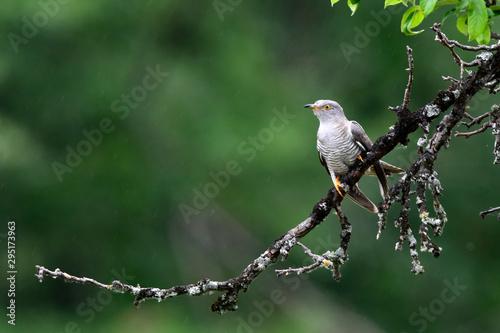 Fotomural Kuckuck (Cuculus canorus) - Common cuckoo / cuckoo