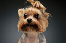 Portrait Of An Adorable Yorksh...