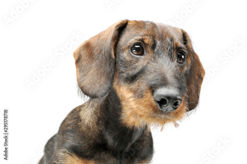 Obraz Portrait of an adorable wired haired Dachshund looking curiously - fototapety do salonu