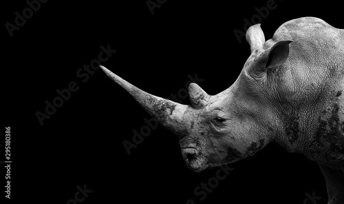 La pose en embrasure Rhino Rhino on the black background
