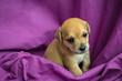 Leinwanddruck Bild - Brown puppy in purple fabric