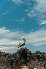 Beautiful Brown Pelican Birds. Natural Wildlife Shot In San Cristobal, Galapagos. Pelicans Bird Resting On Rocks With Ocean Sea Background. Wild Animal In Nature.