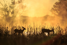 Silhouette Of Two Fawns On A F...