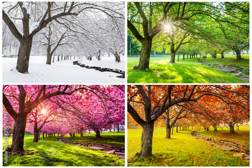 Fotografia Four seasons with japanese cherry trees in Hurd Park, Dover, New Jersey