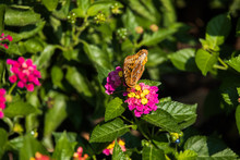 Variegated Fritillary Butterfly On Lantana Flowers