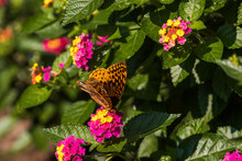 Great Spangled Fritillary Butterfly Sitting On Lantana Wildflowers