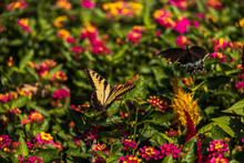 Eastern Tiger Swallowtail On L...