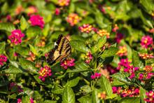 Eastern Tiger Swallowtail On Lantana Wildflowers
