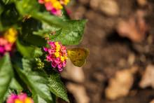 Little Yellow Butterfly Sitting On Lantana Wildflowers