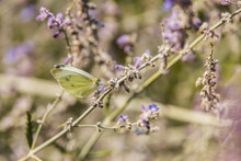 Dainty Sulphur Butterfly Sitting On Purple Flowers
