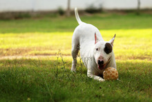Bull Terrier Lying With Toy On...