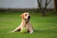 Labrador Retriever Lying With Ball On Grass. Dog Play With Ball In Grass Field. Dog Unleashed In The Park. Dog Smiling. Happy Dog.