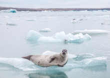 Harbor Seal On Iceberg In Glac...