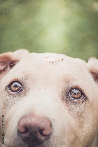 Perro con anillo de compromiso mascota de novios o parejas Tapéta, Fotótapéta