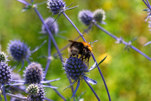 Bumblebee And Blue Flowering P...