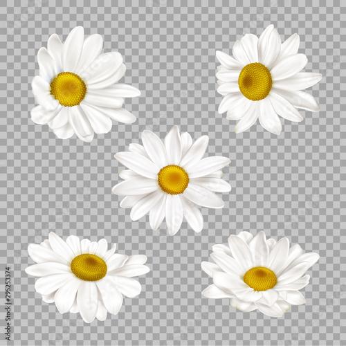 Chamomile set, realistic camomile flower buds isolated on transparent background Fototapeta