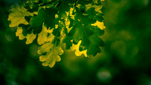 Green Leaves Of Maple