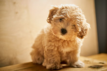 Adorable Beige Puppy Sits On W...
