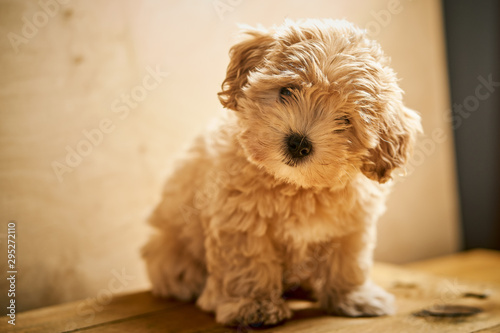 Adorable beige puppy sits on wooden table Fototapet