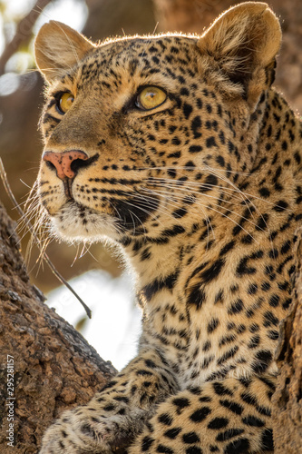 Leopard face on the tree looking for preys in the horizon