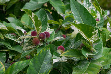 Ficus Aspera With Fruits And G...
