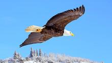 Bald Eagle Soaring In Blue Sky Over Winter Landscape.
