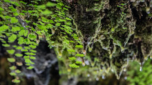 Water Droplets Dripping From Moss Covered Rocks