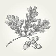Oak Leaves And Acorns Drawing....