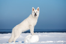 White Shepherd Dog Posing Outd...