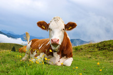 Tame Young Cattle On A Green F...