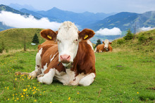 Relaxed White Brown Cow Lying On A Path In The Alps On A Green Meadow