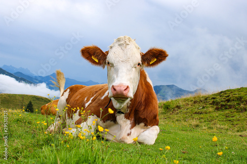 Fotografie, Obraz Tame young cattle on a green field in the alpine mountains of Austria with yello