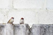 Two Sparrows Sitting On The Broken Fence
