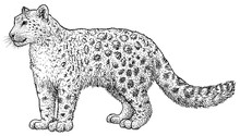 Snow Leopard Illustration, Dra...