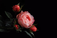 Beautiful Red And Pink Flowers And Rosebuds On Isolated Black Background.